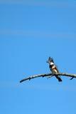 Umgeschnallter Eisvogel, Megaceryle-alcyon Lizenzfreie Stockfotos