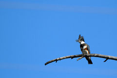 Umgeschnallter Eisvogel, Megaceryle-alcyon Stockfoto