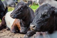 Umgeschnalltes Galloway-Vieh Stockfoto