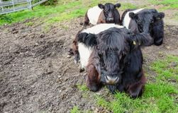 Umgeschnalltes Galloway-Vieh, Cannock-Verfolgung Lizenzfreies Stockbild