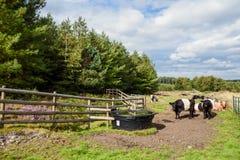 Umgeschnalltes Galloway-Vieh, Cannock-Verfolgung Stockfoto