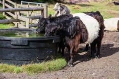 Umgeschnalltes trinkendes Galloway-Vieh, Cannock-Verfolgung Stockfoto