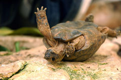 Umgeworfene Schildkröte Stockbild
