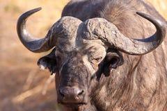 Umhang-Büffel Stockfotografie