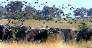 Umhang-Büffel Lizenzfreie Stockbilder