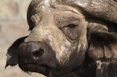 Umhang-Büffel Stockfoto