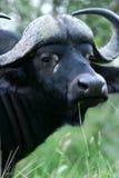Umhang-Büffel stockbilder