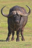 Umhang-Büffel Lizenzfreie Stockfotos