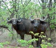 Umhang-Büffel wild in Afrika stockfotos
