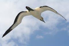 Umhang gannet im Flug 3 Stockfotos