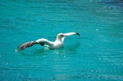 Umhang Gannet Vogel stockfoto