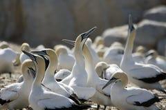 Umhang Gannets Moruscapensis Südafrika stockbilder