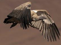 Umhang-Geier, der seine Flügel im vollen Flug Schlag ist lizenzfreie stockfotografie