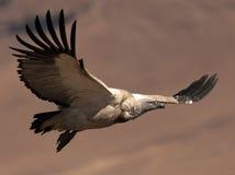 Umhang-Geier im Flug mit den Flügeln heraus streched Stockbild
