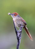 Umhang Grassbird Stockfoto