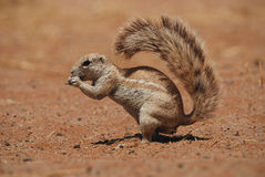 Umhang-Grundeichhörnchen (Xerus inauris) Stockfotos