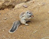 Umhang-Grundeichhörnchen (Xerus inauris) Stockfoto