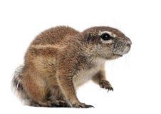 Umhang-Grundeichhörnchen, Xerus inauris, sitzend Stockbild