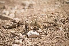 Umhang-Grundeichhörnchen Stockbilder