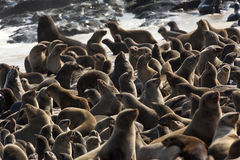 Umhang-Pelz-Dichtungs-Kolonie in Namibia lizenzfreie stockbilder