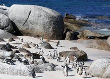 Umhang-Pinguine Lizenzfreie Stockfotos