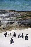Umhang-Pinguine auf Fluss-Steinstrand Stockbild