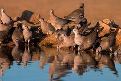 Umhang-Schildkröte-Tauben Lizenzfreie Stockfotografie