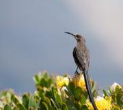 Umhang Sugarbird Lizenzfreie Stockbilder