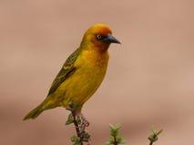 Umhang-Webervogel. Lizenzfreie Stockfotos