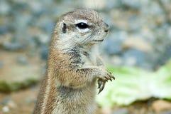 Umhanggrundeichhörnchen Stockfotos