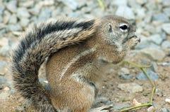 Umhanggrundeichhörnchen Stockfotografie