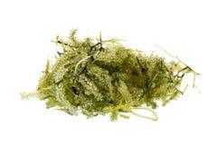 Umi-budou, морская водоросль, здоровый продукт моря Овальная морская водоросль виноградин моря Стоковое Изображение RF