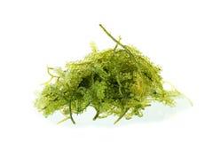 Umi-budou, морская водоросль, здоровый продукт моря Овальная морская водоросль виноградин моря Стоковые Изображения RF