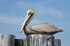 umieścić pelikana Zdjęcie Royalty Free