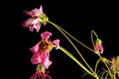 Umierający kwiatu zbliżenia wierzch Opuszczać zdjęcia stock