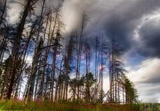 umierające drzewa fotografia stock