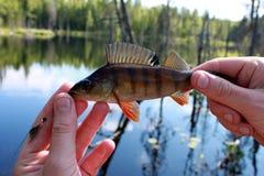 Umieszcza ryba w rękach mężczyzna na błękitne wody i zielenieje lasowego tło, horyzontalny widok Zdjęcie Stock