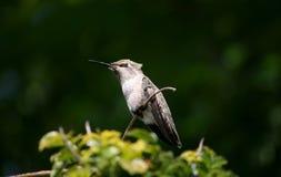 Umieszczający hummingbird Obraz Stock