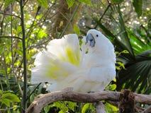 Umieszczający kakadu Wystawia it& x27; s piórka Podczas gdy Preening Obrazy Royalty Free