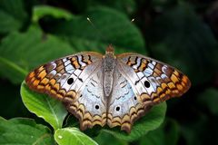 umieszczaj?cy motyli li?? zdjęcie royalty free