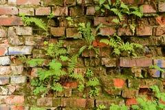 Ummauern Sie überwucherte, alte Backsteinmauer, Hintergrund, Beschaffenheit, altes verdünntes Stockfotos