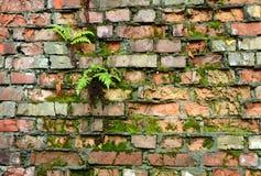 Ummauern Sie überwucherte, alte Backsteinmauer, Hintergrund, Beschaffenheit, altes verdünntes Stockbilder