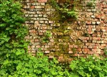Ummauern Sie überwucherte, alte Backsteinmauer, Hintergrund, Beschaffenheit, altes verdünntes Lizenzfreies Stockbild