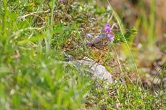 Ummauern Sie Brown-Schmetterling mit den Punkten, die auf Blumen im Sommer einziehen Lizenzfreies Stockfoto