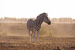 Umore africano Immagine Stock