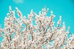 Umore della sorgente Fondo blu fresco con i fiori di fioritura bianchi della ciliegia per le feste immagine stock