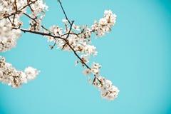 Umore della sorgente Fondo blu fresco con i fiori di fioritura bianchi della ciliegia per le feste fotografia stock libera da diritti