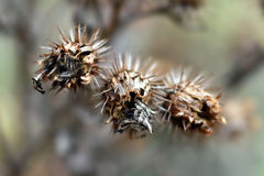 Umore di autunno - bardana Fotografia Stock