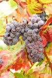 Ump Grapes Royalty Free Stock Photos