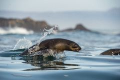 Umping out of water Cape fur seal (Arctocephalus pusillus pusillus) Royalty Free Stock Image